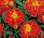 marigold_red