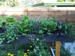 Completed rain-gutter planter with spinach, peas, basil, and dill