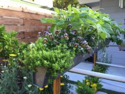 Completed rain-gutter planter with pansies, beans, chives, and other edibles