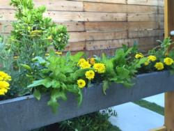 Completed rain-gutter planter with lettuce, marigolds, and herbs