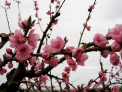 Fruit tree - peach