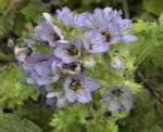 blueflowered_grape_leaf