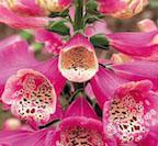foxglove_camelotrose
