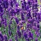 lavender_hidcote