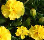 marigold_Yellow