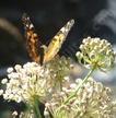 milkweed_asclepias_fascicularis