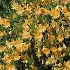 monkey_flower_yellow