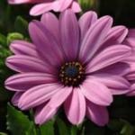 osteospermum_pink