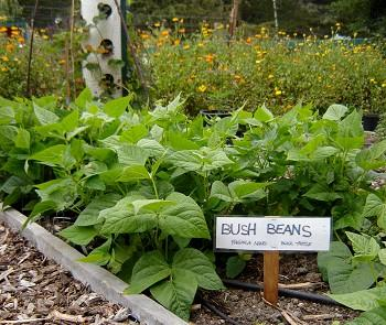 Bush beans, July 21