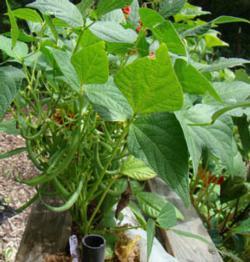 Closeup of a 'Purple Queen' bean plant.